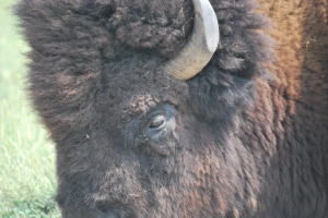 bisonprofile (2)