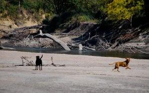 Sandbar dogs